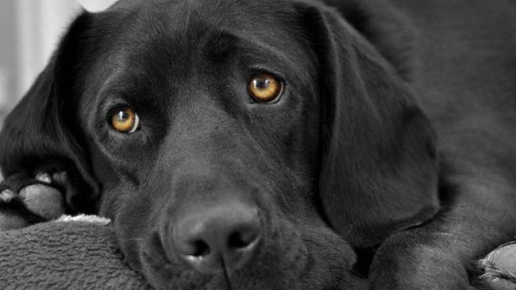 Verrugas en perros o Papilomas orales caninos