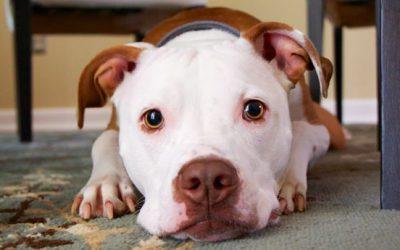 Razas prohibidas o perros peligrosos en Alemania, EXCEPCIÓN