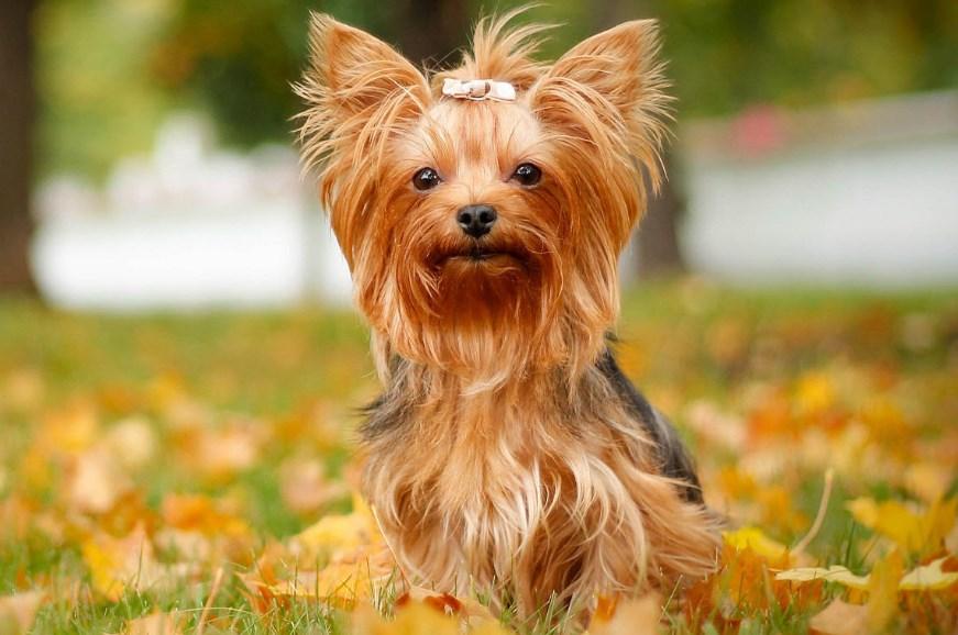 Cuidar De Perros Pequeños Razas Mini Razas Pequeñas