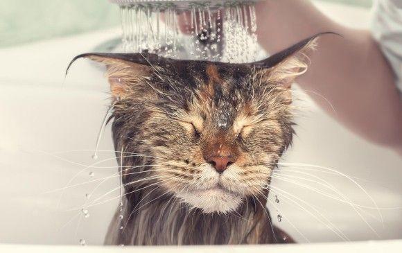 ¿los gatos se bañan?